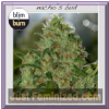 Blim Burn Nacho's Bud Female 3 Cannabis Seeds